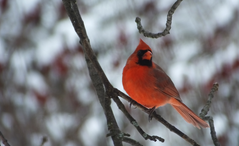 Male Cardinal_EAhlborn