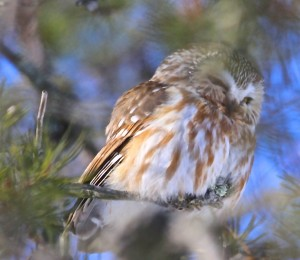 Saw-Whet Owl_ASheldon