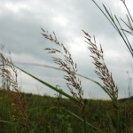 IndianGrass_MWinter-3-150x150