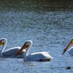 Pelicans_EAhlborn-2-150x150