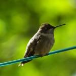 Ruby-Throated-Hummingbird_Ahlborn-2-150x150