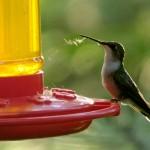 Ruby-Throated-Hummingbird_EAhlborn-2-150x150