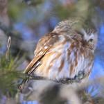 Saw-Whet-Owl_ASheldon-2-150x150