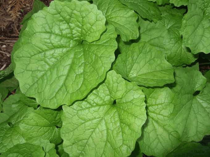 garlic-mustard